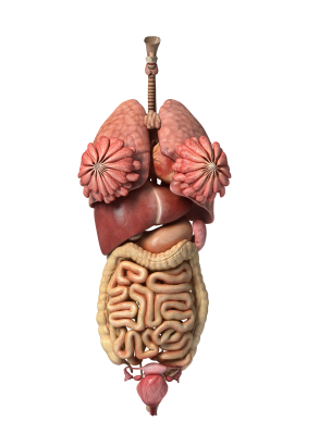 LUNGS ATTACHED TO GI TRACK